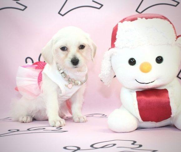 Vogue - Malchi Puppy.0