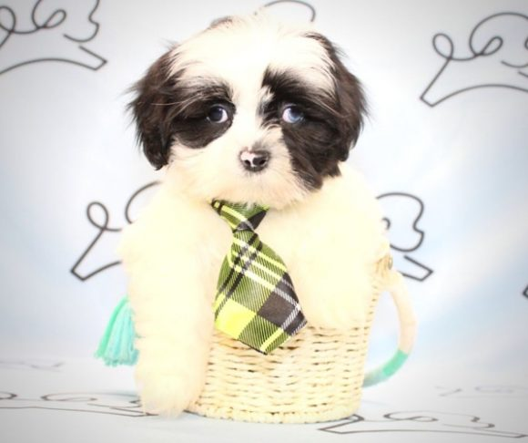 Willow - Shih Tzu for sale in Henderson NV.0