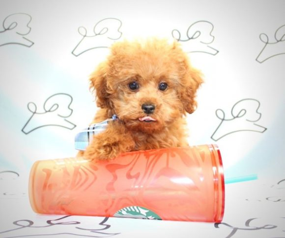 Wolfy - teacup poodle in Los Angeles.1