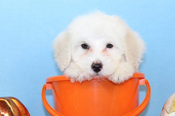 Wrenlow - Toy Maltipoo Puppy (4)
