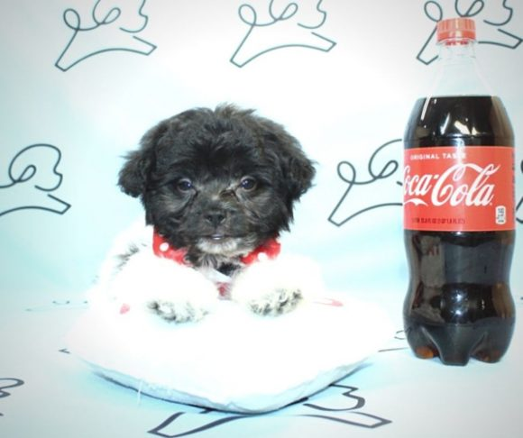 Yuri - Teacup Maltipoo for sale by breeder.0