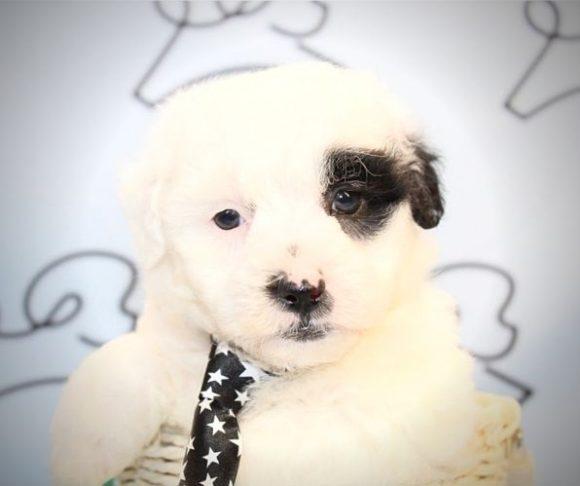 Yusuf - Maltipoo puppies in Las Vegas.4