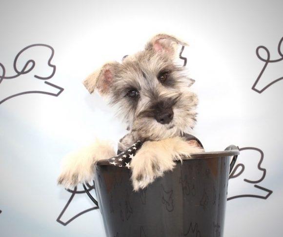 Zayn - Schnauzer Puppy.4