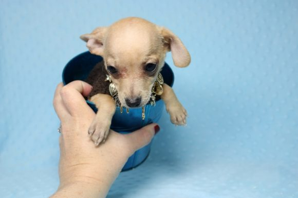 Zoro - Chihuahua Puppy For Sale By Breeder (14)