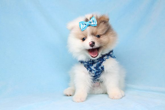 Aashiq - Teacup Pomeranian Puppy Found His Good Loving Home With Edgar M. In Glendale Ca, 91205-0