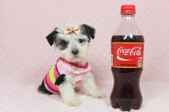 Abby Hatcher - Teacup Maltipoo Puppy has found a loving home with Mia from Sicklerville, NJ 08081-0
