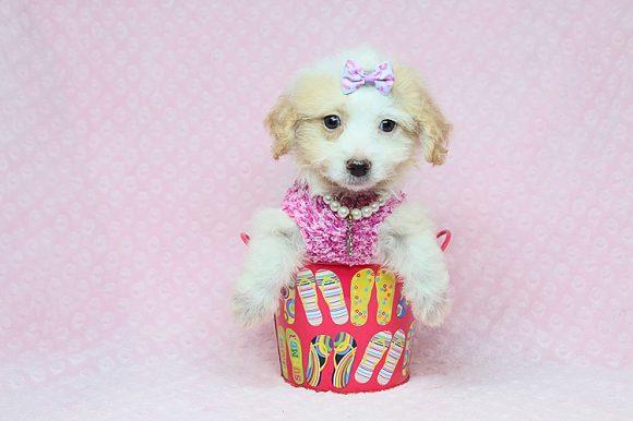 Abigail - Teacup Maltipoo Puppy in Los Angeles Las Vegas