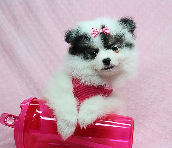 Abigail - Teacup Pomeranian Puppy Found Her Good Loving Home With Monique W. In Downey CA, 90241-0