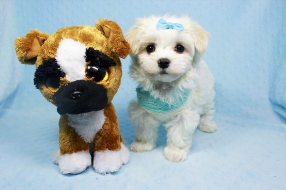 Abu - Teacup Maltese Puppy Found His Loving Home with Melinda from Hisperia CA 93244-0