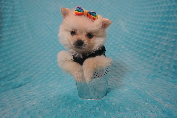 Ace - Tiny Teacup Pomeranian Puppy Found a Loving Home With Danis Warren in Canyon Lake-0