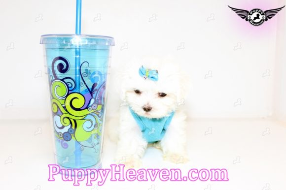Ace - Teacup Maltese Puppy In los Angeles Found A new Loving Home with Arthur from Los Angeles CA 90036-0