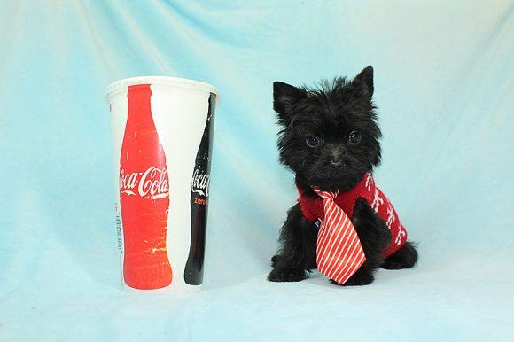 Ace - Teacup Yorkie Puppy