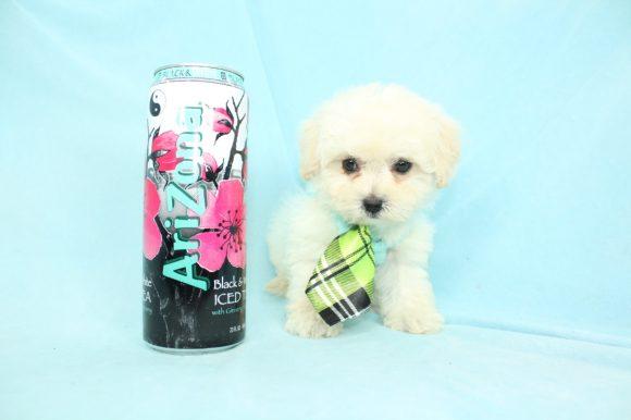 Ace Ventura - Teacup Maltipoo Puppy