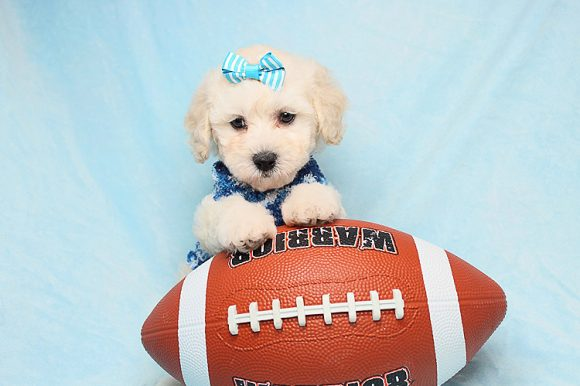 Adam Levine - Teacup Maltipoo Puppies for sale in Los Angeles Las Vegas1