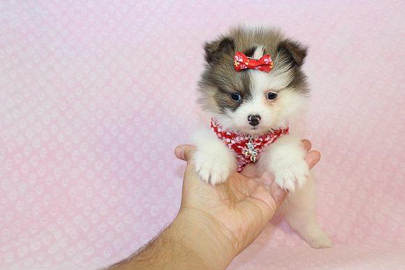 Adele - Teacup Pomeranian Puppy