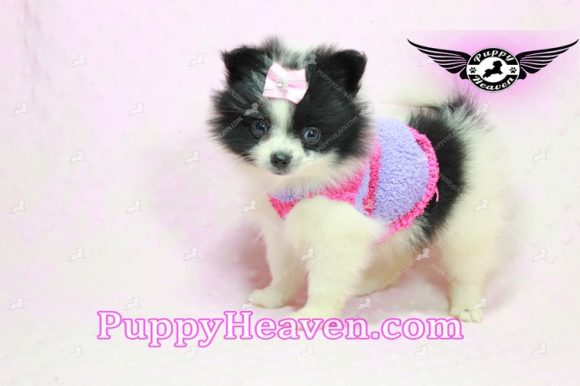Adele - Teacup Pomeranian Puppy In Los Angeles Found a new loving home With Cheryl From Tarzana CA 91335-0