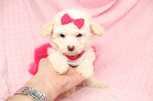 Amoressa - Teacup Maltipoo Puppy was adopted by Keisha form Parkville, MD 21234-0