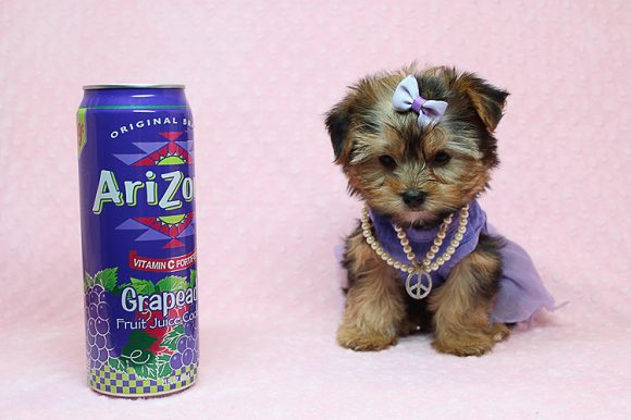 Angelina Jolie - Teacup Yorkie Puppy Found Her New Loving Home With Sidney from CA-0
