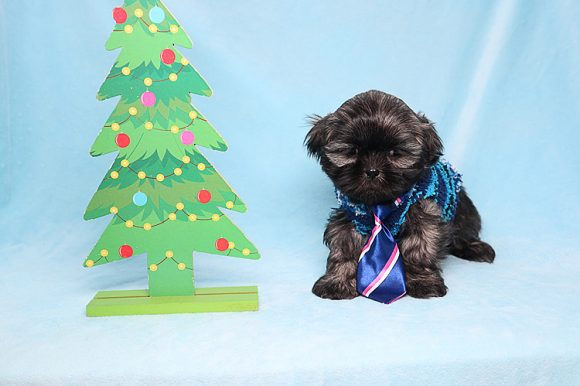 Antonio Brown - Teacup Shih-Tzu Puppy