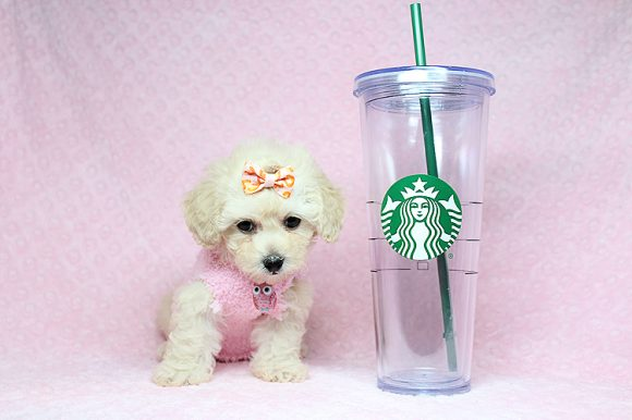Ariel - Teacup Maltipoo Puppy-0