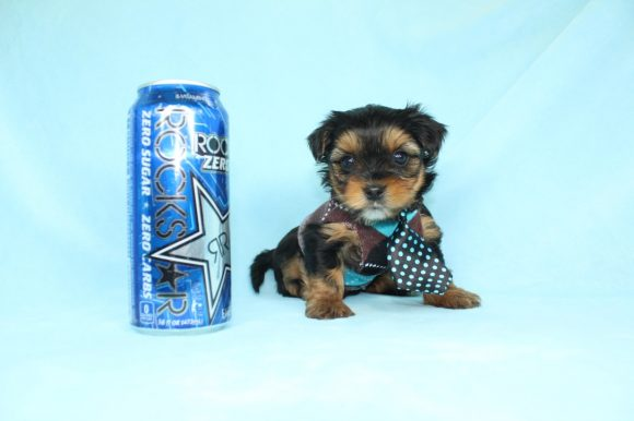 Armani - Teacup Yorkie Puppy