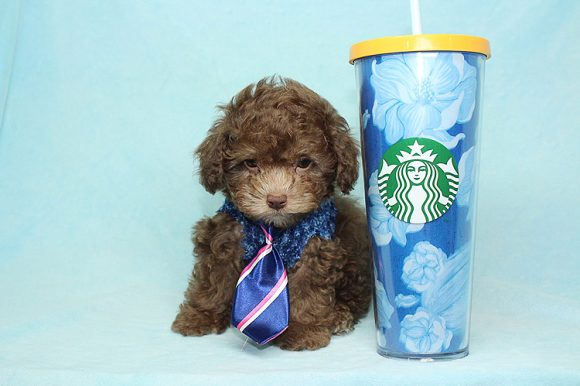 Ash - Teacup Poodle Puppy