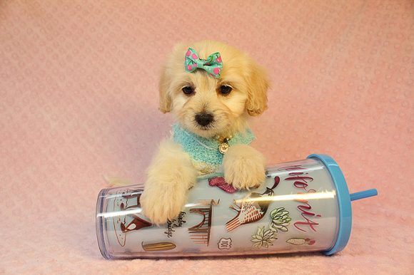 Barbi - Toy Maltipoo Puppy