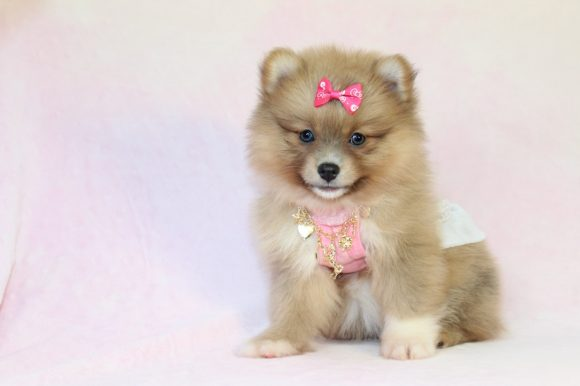 Barbie - Toy Pomeranian Puppy