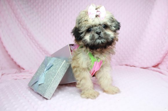 Beauty Queen - Toy Shih-Tzu Puppy has found a good loving home with Devona from Las Vegas, NV 89119.-0