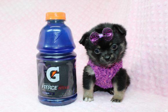 Bella - Tiny Teacup Porkie Puppy-0