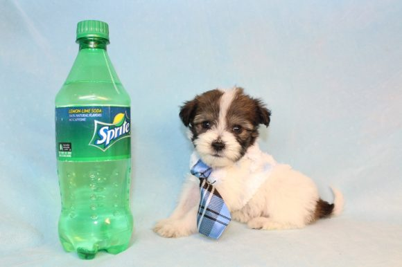 Benny - Teacup Malshi Puppy