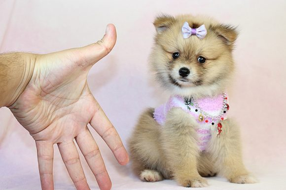 Beverly - Teacup Pomeranian Puppy