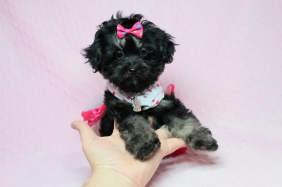 Beyonce - Teacup Shipoo Puppy has found a good loving home with Angela from Las Vegas, NV 89129.-0