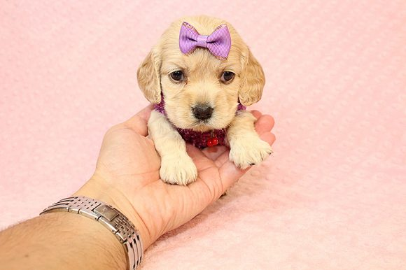 BFF - Teacup Cocker Spaniel Puppy