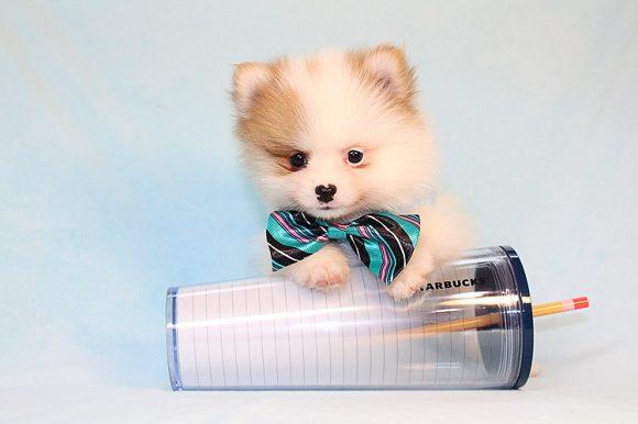 Bissili - Teacup Pomeranian Puppy