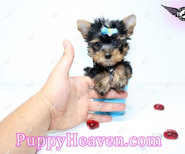 Black Diamond - Tiny Teacup Yorkie Puppy In los Angeles Found A New Loving Home -1324