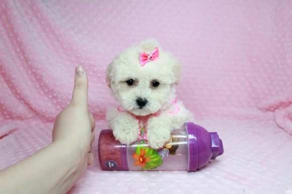 Bling - Teacup Maltipoo Puppy has found a good loving home with Glenda from Las Vegas, NV 89115.-0