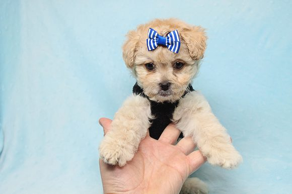 Blitzen - Toy Poodle Puppy Found His good Loving Home With Eun S. In Chino Hills Ca, 91709-0