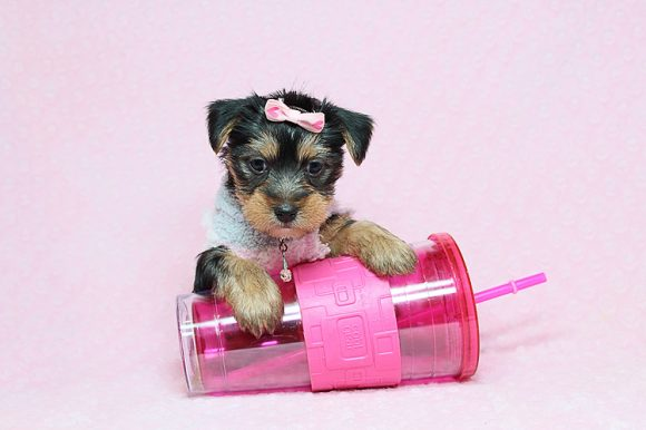 Bombshell - Teacup Yorkie Puppy in Los Angeles Las Vegas