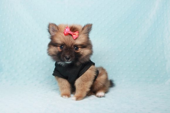 Bono - Teacup Pomeranian Puppy found a home with Alfredo P from Santa Ana CA 92704-0