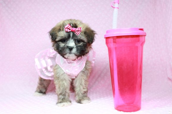 Booba - Teacup Malshi Puppy has found a good loving home with Ezell from Berkeley, CA 94703-0