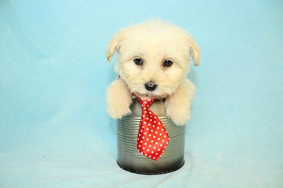 Brad Pitt - Teacup Maltipoo Puppy
