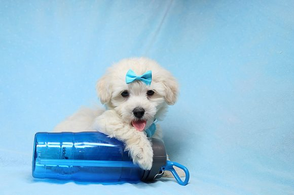 Bradley Cooper - Teacup Maltipoo Puppy has found a good loving home with Alan from Aliso Viejo, CA 92656-0