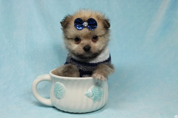 Buddy - Teacup Porkie Puppy has found a good loving home with Donna from Las Vegas, NV 89109.-0