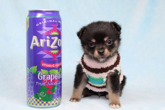 Button - Teacup Porkie Puppy has found a good loving home with James from Las Vegas, NV 89120-0