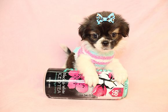 Cali - Teacup Malshi Puppy
