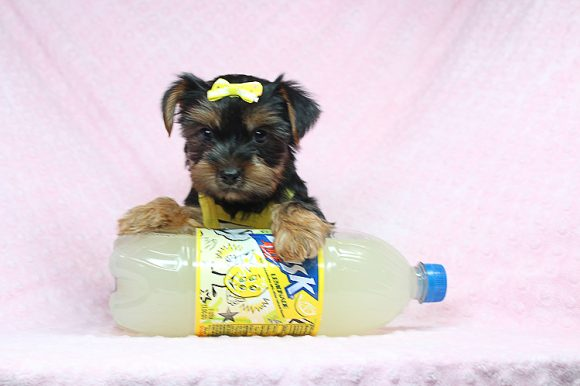 Calliope - Teacup Yorkie Puppy found a home with Jade S from Los Angeles CA 90043-0