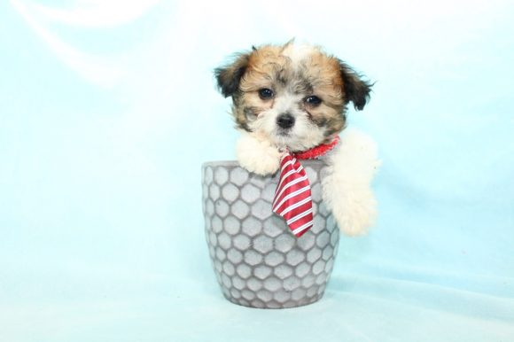Cannon - Teacup Maltipoo puppy