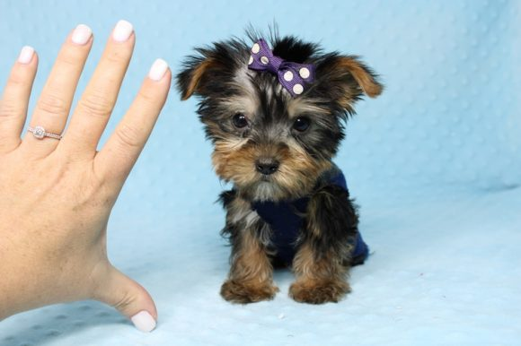 Captain - Teacup Yorkie Puppy-0