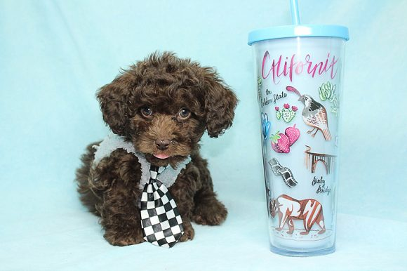 Cartier - Teacup Poodle Puppy